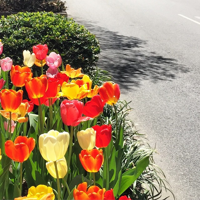 the prettiest tulips on park ave... happy derby day!